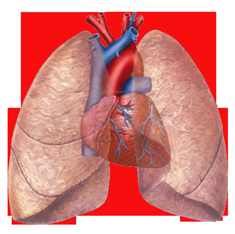 Lujo Pulmones Anatomía Del Corazón Fotos - Imágenes de Anatomía ...